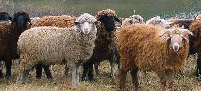 Разведение овец в домашних условиях для начинающих