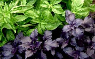 Польза и вред базилика фиолетового чем полезен для организма противопоказания