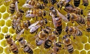 Пчеломатка (королева пчел) виды как выглядит фото размер как появляется облет