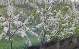 Как сажать черешню весной и летом