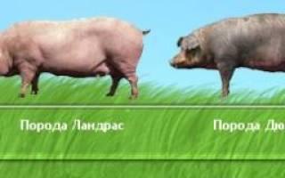 Порода свиней дюрок фото отзывы