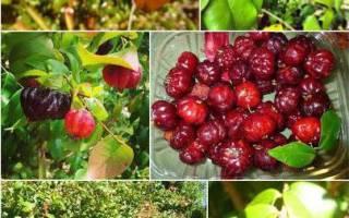 Суринамская вишня фото описание