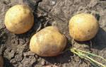 Сорт картофеля леди клер описание фото отзывы