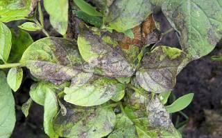 Болезни ботвы картофеля фото описание и лечение
