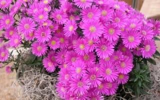 Астры фото цветов виды