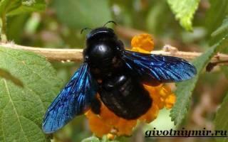 Пчела плотник (обыкновенная древесная) фото и описание укус как избавиться методы борьбы