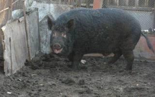 Порода свиней кармалы отзывы характеристика фото
