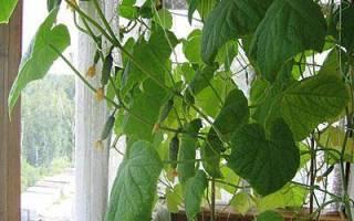 Огурцы на балконе и лоджии выбор сорта посадка и выращивание
