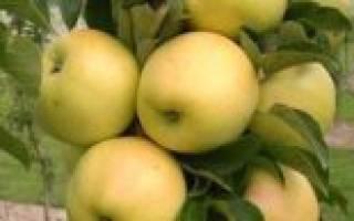Колоновидная яблоня медок описание сорта фото отзывы