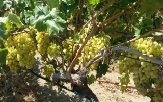 Виноград столетие описание сорта фото отзывы