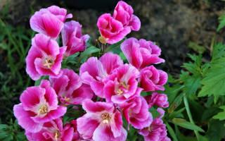Годеция крупноцветковая выращивание из семян + фото