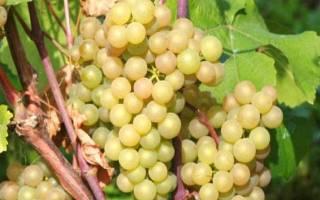 Виноград платовский описание сорта фото отзывы