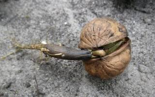 Посадка грецкого ореха из ореха осенью саженцем как правильно видео