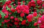 Роза сантана фото и описание отзывы