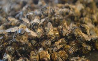 Пчелиный подмор при простатите рецепты как принимать для лечения