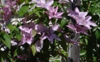 Клематис хегли гибрид (hagley hybrid) описание сорта фото отзывы группа обрезки