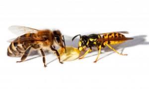 Пчела и оса отличия на фото в картинках сравнение различия жала и укусов
