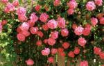 Плетистые (вьющиеся) розы посадка размножение уход и выращивание+ фото
