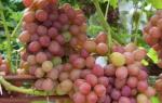 Виноград румба описание сорта фото отзывы