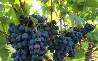 Виноград руслан описание сорта фото отзывы