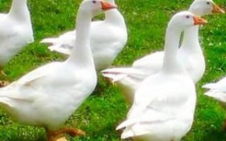 Итальянские гуси описание и характеристика породы фото отзывы