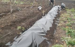 Как укрыть виноград на зиму в средней полосе