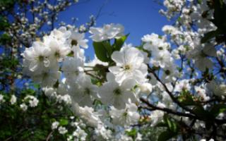 Сезон черешни в россии периоды плодоношения причины отсутствия цветов и плодов