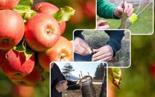 Прививка плодовых деревьев лучшие способы сроки