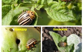 Деготь от колорадского жука
