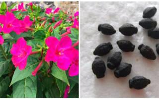 Мирабилис выращивание из семян когда сажать на рассаду
