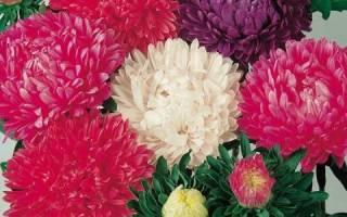 Астра миледи смесь окрасок фото выращивание из семян