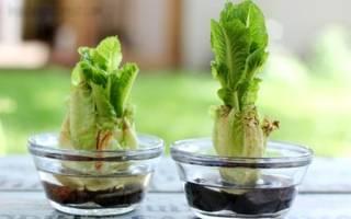 Как вырастить пекинскую капусту из кочерыжки