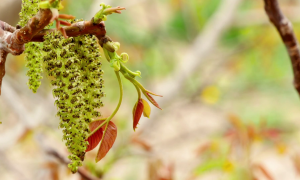 Как цветет грецкий орех фото цветения почему дерево не цветет