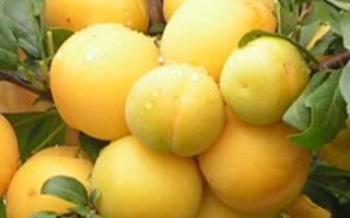 Слива абрикосовая описание сорта фото отзывы