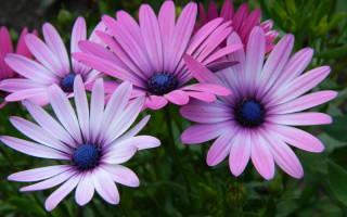 Диморфотека выращивание из семян в домашних условиях