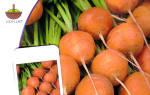Лучшие сорта моркови для ленинградской области