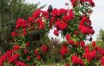 Посадка плетистой розы осенью