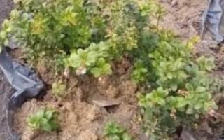 Брусника садовая выращивание на приусадебном участке в саду на даче из семян в домашних условиях способы размножения