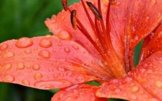 Лилии посадка и уход в открытом грунте обрезка пересадка