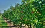 Совместимость плодовых деревьев в саду таблица