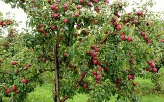 Яблоня елена описание сорта фото отзывы