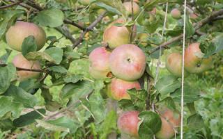 Яблоня медуница описание сорта фото отзывы