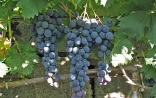 Виноград страшенский описание сорта фото отзывы