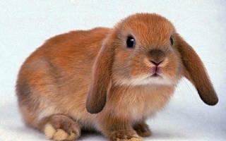 Сколько живут декоративные кролики в домашних условиях