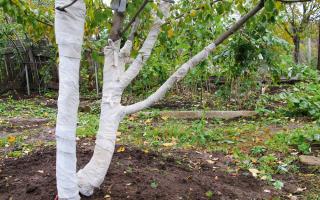 Как подготовить яблони к зиме в сибири
