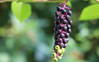 Лаконос (фитолакка) что это за растение посадка и уход размножение фото