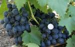 Виноград сфинкс описание сорта фото отзывы