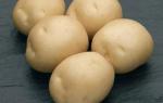 Картофель сифра описание сорта фото отзывы