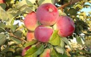 Яблоня орлик описание фото отзывы