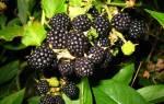 Ежевика бесшипная выращивание и уход сорта размножение
